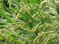 玄米の栄養